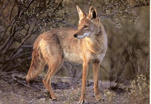 Coyote sightings in South City