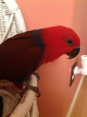 Lost Parrot fetches $1000 reward when found and returned