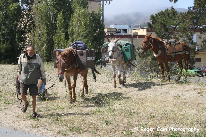 3 mules travel through South City