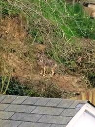 SSF Neighbors warn Keep Small Pets In While Coyotes Roam The Area