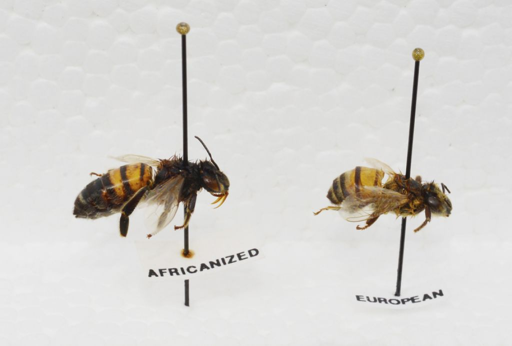 What do african bees look like 10