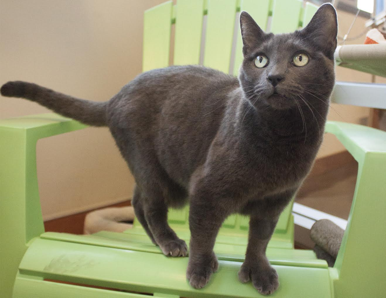 PHS/SPCA Pet of the Week-Ms. Gray