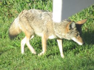 Coyote Mating Season January through March – Be Aware of Small Pets