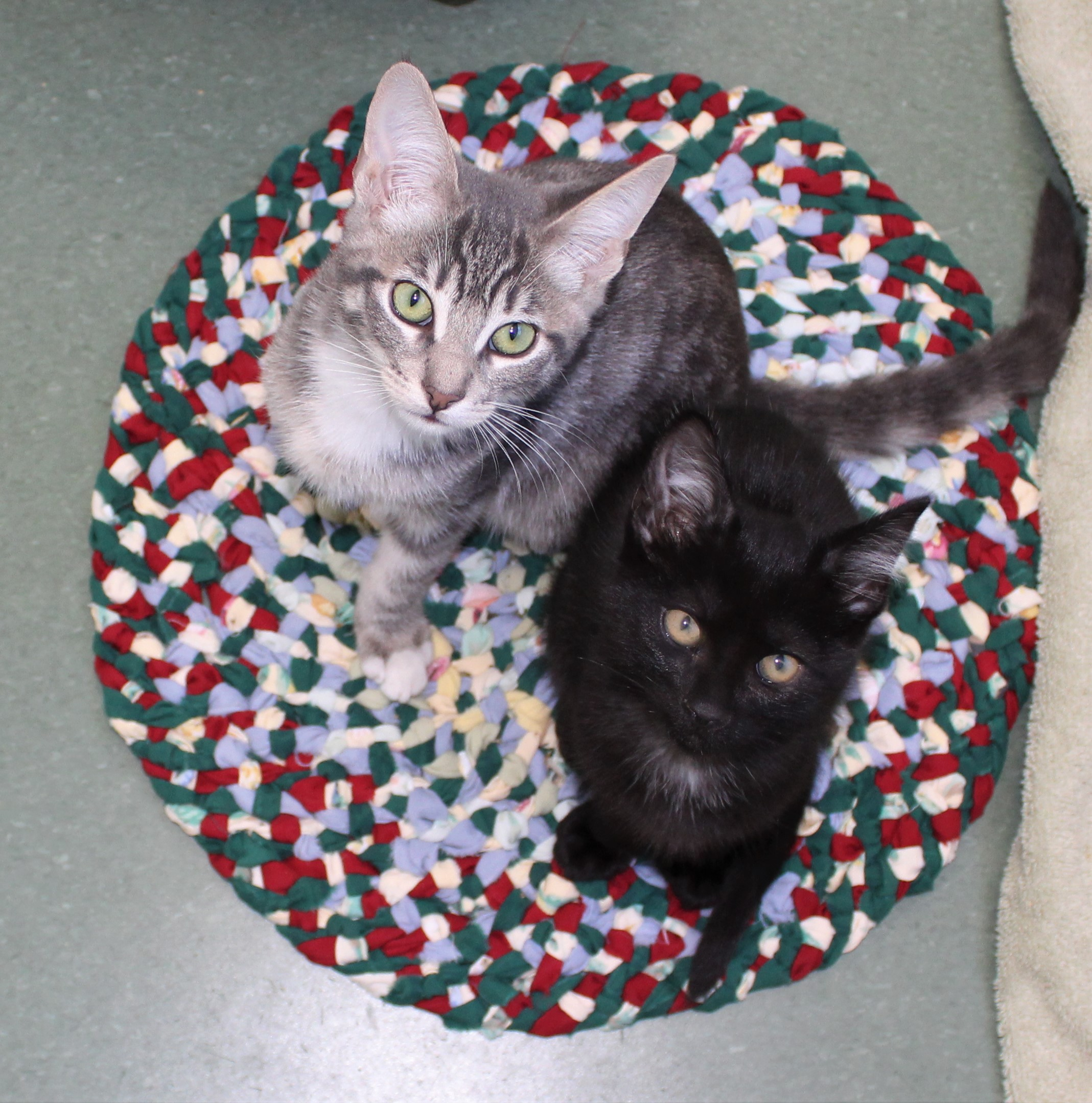 Peninsula Humane Society and SPCA's Pet of the Week: Kittens